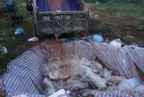 Thanh Hóa tiêu hủy xong gần 6.000 con lợn chết ngập trong lũ