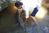 Trở về sau lũ, phát hiện cá sấu 28kg nằm giữa nhà