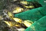 Trại cá bè vàng giống của người phụ nữ ở Khánh Hòa
