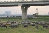 Cặp vợ chồng chăn đàn trâu 200 con dưới chân cầu Vĩnh Tuy