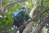Vào rừng trèo cây hái trái bứa ở Quảng Ngãi