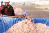 Hà Tĩnh: Đi cà kheo bắt ruốc biển thu tiền triệu mỗi ngày