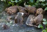 Nuôi ếch 'khủng', kiếm 3 tỷ đồng mỗi năm