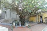 Chuyện ly kỳ về cây đại cổ thụ hơn 400 năm ở Hải Phòng