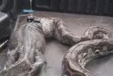 Trăn Thái Lan nôn ra kỳ đà dài 1,5 mét