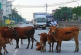 Hà Tĩnh đề xuất làm cầu vượt cho bò đi