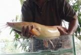 Người dân Sài Gòn bắt được cặp cá trê vàng nặng 10kg