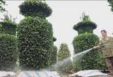Vườn quất lộc bình cao 3 mét của lão nông Hưng Yên