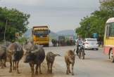 Có nên làm đường riêng cho… bò?