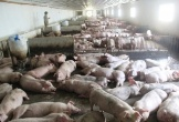 Formosa mua 19.000kg thịt lợn mỗi tháng để tăng khẩu phần cho công nhân
