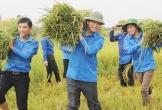 Hà Tĩnh: Đoàn thanh niên ra quân giúp dân gặt lúa