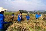Đoàn thanh niên ra quân giúp dân gặt lúa 'chạy' dịch bệnh đạo ôn