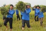 Áo xanh tình nguyện hăng hái xuống đồng gặt lúa giúp dân