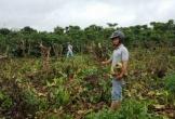 445 cây cà phê sắp cho thu hoạch bị 10 đối tượng chặt phá