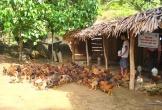 Hiệu quả nuôi gà an toàn sinh học ở Quế Phong