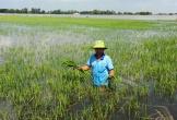 Nông dân Mường Khương đứng trước nguy cơ mất trắng lúa vì mưa lũ
