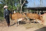 Lấy bò của dân làm nông thôn mới: Bao giờ thoát được nghèo?