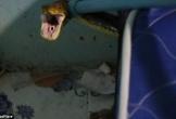 Con trăn hung dữ chui vào nhà cắn chết mèo, nấp dưới gầm giường