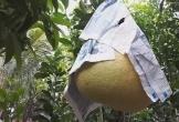 """Vườn bưởi """"khổng lồ"""" đặc biệt có giá bạc triệu mỗi trái"""