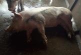 Bày bán thịt lợn nghi bị bệnh có dấu kiểm dịch của cơ sở giết mổ