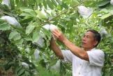 Nông dân thu nhập 300 triệu mỗi năm nhờ trồng ổi