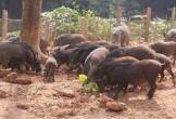 Chàng trai nuôi lợn rừng chạy bộ ở Hà Nội