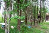 Một xã ở Hà Tĩnh thu 39 tỷ đồng từ cây dó bầu