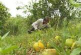 Nông dân Hà Tĩnh đổ hàng tạ cam xuống suối