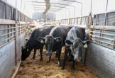 Vinamilk nhập hơn 200 cô bò hữu cơ về Việt Nam