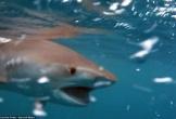 Cá mập xé nát đồng loại với một cú cắn