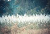 Đã mắt bãi cỏ lau giữa đô thị biển Cửa Lò