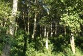 Ngỡ ngàng rừng săng lẻ nơi miền tây xứ Nghệ