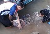 """Ngư dân bắt được cá hô """"khủng"""" 125kg, bán gần 300 triệu"""