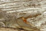 Hà mã tấn công cá sấu, bảo vệ xác đồng loại trên sông Nile