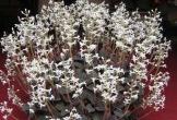 Loài cỏ lạ đất Việt: Thương lái Trung Quốc lùng mua quý như vàng