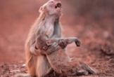 Khỉ giật ví du khách, vung tiền lên trời