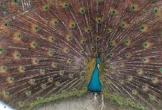 Trại chim công lãi trăm triệu mỗi năm của thanh niên ở miền Tây