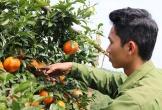 Cam bù Hương Sơn được mùa lại trúng giá