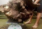 Hà Tĩnh: Người dân đào được củ khoai vạc 'khủng' nặng 73kg tại vườn nhà