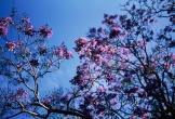 Lãng đãng phượng tím mộng mơ giữa khung trời Đà Lạt tháng Ba