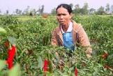 Hà Tĩnh: Người trồng ớt nguy cơ trắng tay vì doanh nghiệp không thu mua