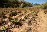 Bệnh lạ tấn công cây trồng, nông dân mếu máo nhổ hàng chục ha rau