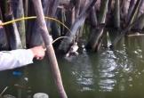 'Cao thủ' dùng nhái làm mồi bắt cá lóc ở miền Tây