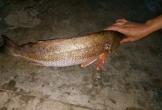 Hà Tĩnh: Bắt được cá lạ nghi là cá sủ vàng quý hiếm