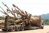 Bộ GTVT báo cáo Chính phủ 4 xe chở cây 'quái thú'