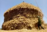 Cây rơm cao 30m trị giá 500 triệu đồng ở Quảng Ngãi