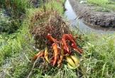 Hàng trăm hộ trồng ớt XK 'mắt cay xè' vì doanh nghiệp ký hợp đồng rồi bội tín