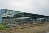 Đại dự án nuôi bò trên giấy: Rừng bị chặt hạ la liệt, trăm tỷ đồng bị chiếm đoạt