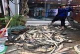 Lũ đánh vỡ ao, cá tầm trôi dạt khắp nơi, người dân đua nhau bắt bán với giá