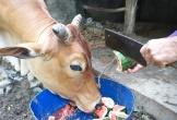Nước ngập trắng đồng dưa hấu, người dân cắt cho bò ăn